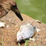 Hammerkop Bird - Wildlife in Uganda, Africa...