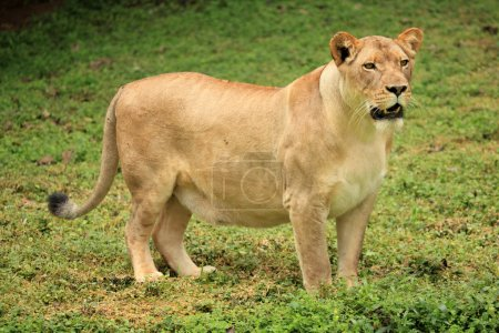 Lion - Wildlife in Uganda, Africa...