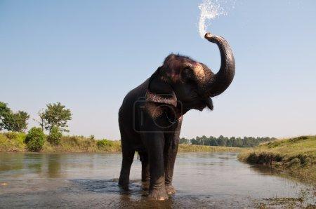 Elephant - Chitwan NP , Nepal