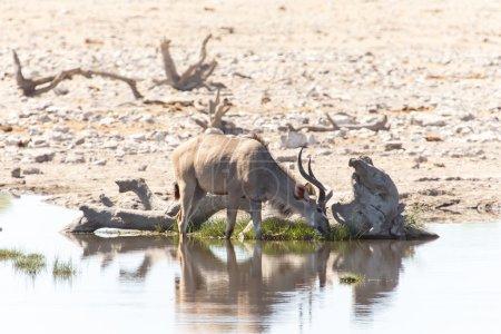 Photo for Kudu at Etosha National Park in Nambia, Africa - Royalty Free Image