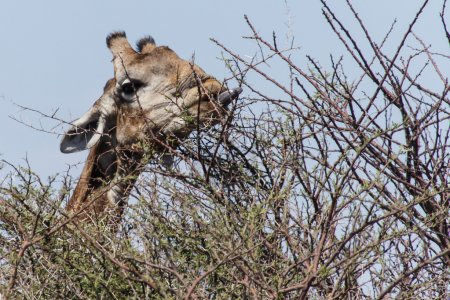 Giraffe Eating - Etosha Safari Park in Namibia
