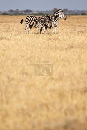 Zebra - Chobe N.P. Botswana, Africa