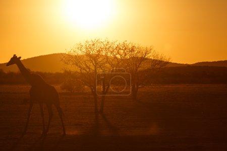 Photo pour Girafe au Parc National d'Etosha en Nambie, Afrique - image libre de droit