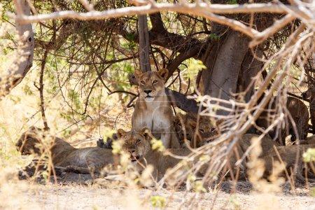 Lions at Okavango Delta