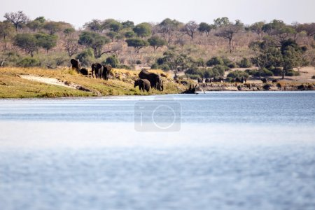 Elephants Herd in Chobe River