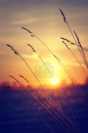 Photo for Dry grass against winter sunrise - Royalty Free Image