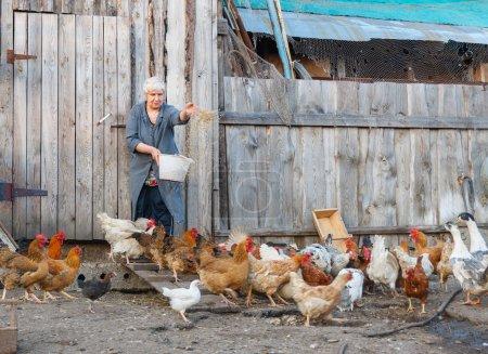 Alimentar a los pollos en una granja