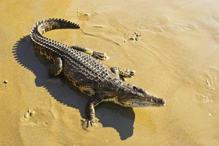 Wild animal crocodile.
