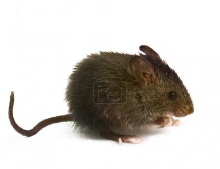 wild rat mouse sniffing is isolated with a white background