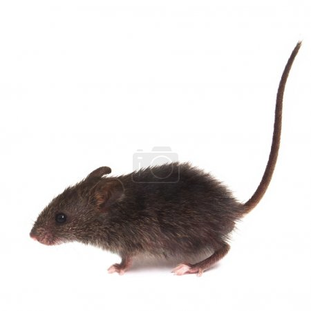 Mouse wild rat isolated on white background