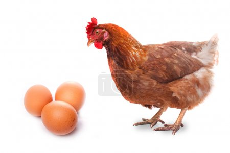 Live chicken bird redhead looks at three eggs isolated on white