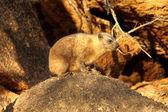 Malé dassie na skalách
