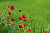 Beautiful red poppy in the green field.
