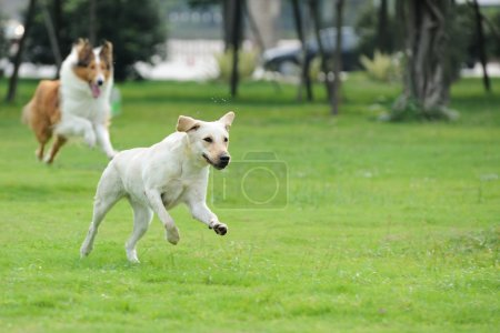 Two dog running and chasing on the lawn...