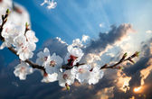 branch of cherry flowers at sunset