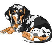 Black and tan double dapple smooth-haired miniature dog Dachshund breed (German badger-dog; hot dog wiener dog or sausage dog) lying