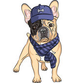 Hipster dog French Bulldog breed in a blue cap and scarf