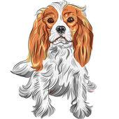 Cute serious dog Cavalier King Charles Spaniel breed