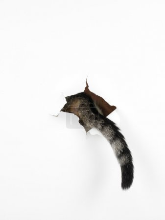 Photo for A cat's tail coming out through a hole in a white paper, isolated - Royalty Free Image