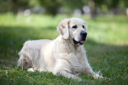 Golden retriever on grass