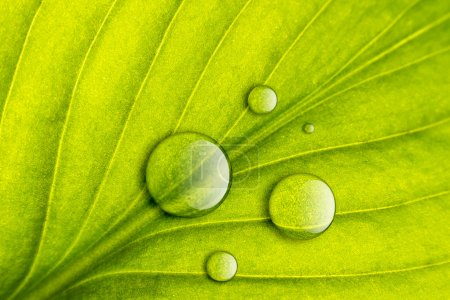 Photo for Green leaf with water drops close-up background. Macro - Royalty Free Image