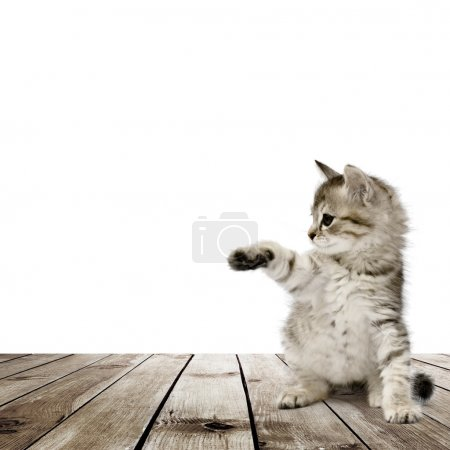 Photo for Small gray kitten on wood floor over white background - Royalty Free Image