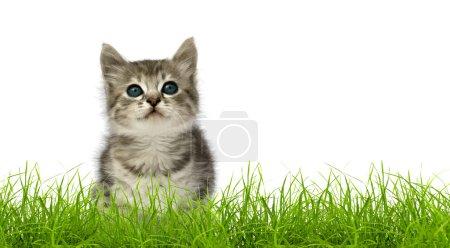Photo pour Petit chaton gris dans l'herbe verte isolé sur fond blanc - image libre de droit