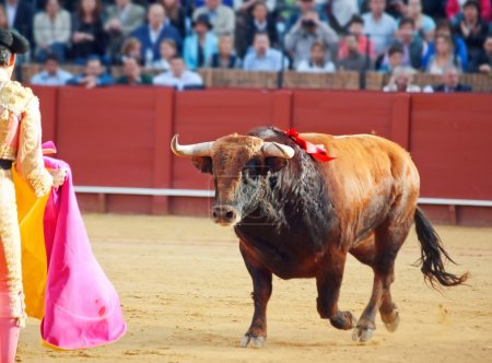 Fighting brown young bull running at matador. Sevilla. Spain