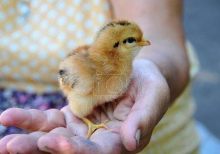 Photo pour Petit poulet assis dans la main - image libre de droit