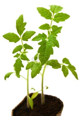 Photo pour Plant de tomate dans un pot de tourbe isolé sur fond blanc - image libre de droit