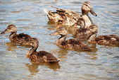 Kachna s ducklings