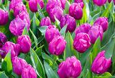 Krásné fialové tulipány closeup