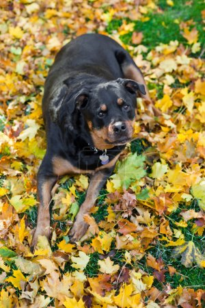Photo for Purebred female Rottweiler laying on golden autumn leaves - Royalty Free Image