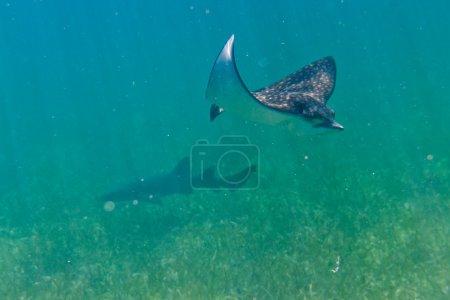 Photo pour Sous-marin près d'un rayon piquant de la côte du Belize - image libre de droit