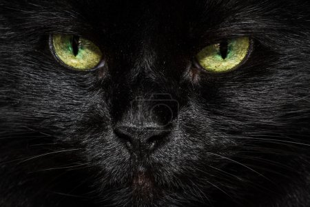 Photo for Closeup of a long haired black cats face with glowing yellow green eyes - Royalty Free Image