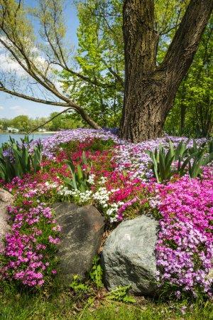 Foto de Hermoso paisaje con colorido phlox cubren los terrenos de un gran patio - Imagen libre de derechos