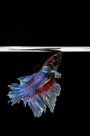 Siamese Fighting Fish isolated , betta on black background