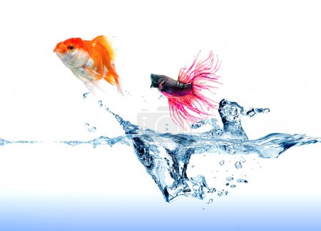 A  Siamese Fighting Fish  jumping chase a golden fish on white