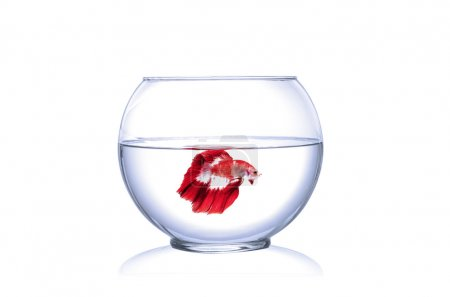 Red Siamese fighting fish in fish bowl, Betta Splendens, in front of white background.
