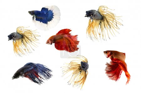 Photo for Group ofSiamese fighting fish, Beta fish on white background - Royalty Free Image