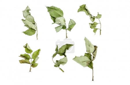 Rosesl dry leaves set isolated on white : Clipping Path