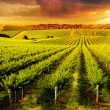 A Beautiful Sunset over vineyard in South Australi...