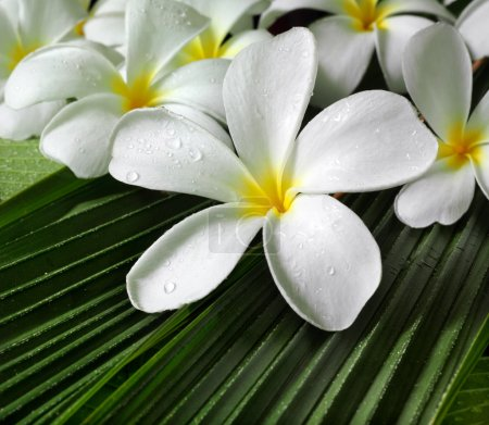 Photo for Plumeria flowers closeup on green leaves - Royalty Free Image