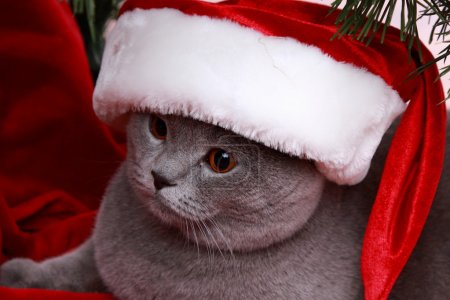 Christmas cat in Santa Claus cap