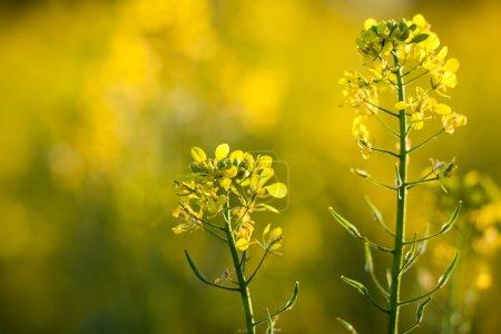 Photo pour Colza (Brassica rapa) - image libre de droit