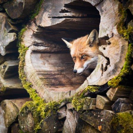 Photo pour Le renard roux (Vulpes vulpes) - image libre de droit