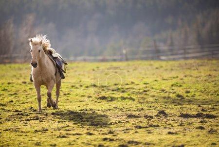 Saddled horse galloping