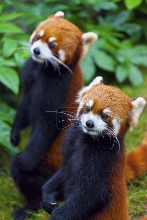 Little red panda, endangered species