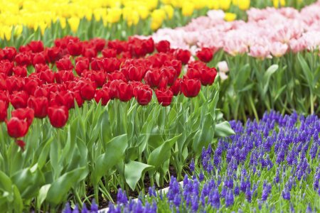 Flower field with tulip