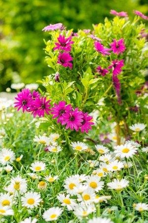 Spring flowers white and purple daisy gardening